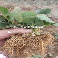 山東枸橘樹苗出售基地、山東枸橘樹苗價格多少圖片