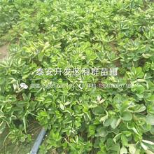 中華福桃苗價格、2019年中華福桃苗報價圖片