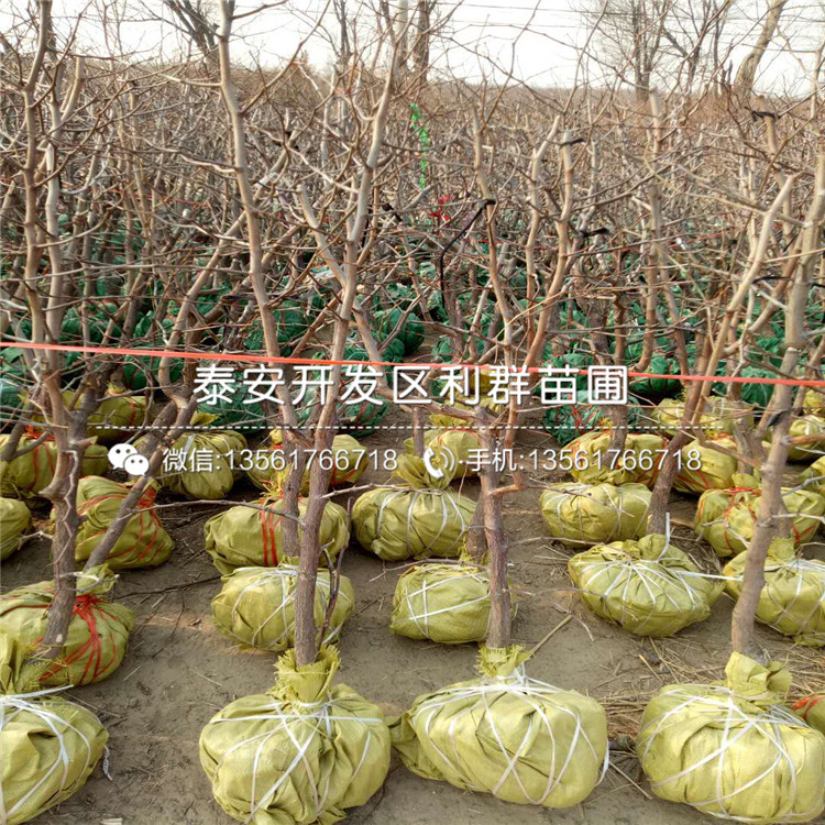 塞娃草莓苗出售、塞娃草莓苗基地