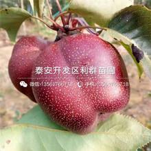 黃金王黃桃苗基地圖片