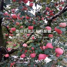 山东瑞士红肉苹果苗出售、山东瑞士红肉苹果苗价格是多少图片