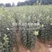 山东3公分黄桃苗多少钱一棵、山东3公分黄桃苗批发基地