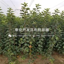 5公分石榴树苗哪里卖、5公分石榴树苗价格多少图片