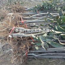 新品種9公分棗樹苗出售圖片