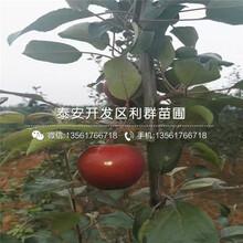 2019年金太阳杏苗价格图片