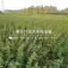 山东10公分梨苗出售价格、山东10公分梨苗批发基地