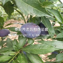 一棵蜜香杏树苗多少钱图片
