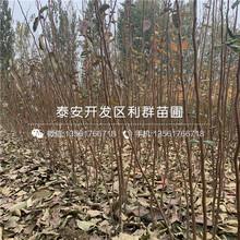 葫蘆棗樹苗批發、2019年葫蘆棗樹苗報價圖片
