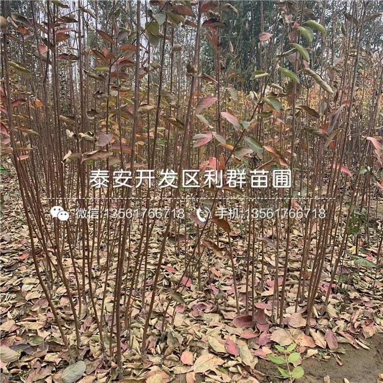 中華巨蟠蟠桃樹苗價格行情