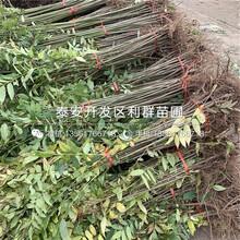 m26蘋果樹苗基地、m26蘋果樹苗多少錢一棵圖片