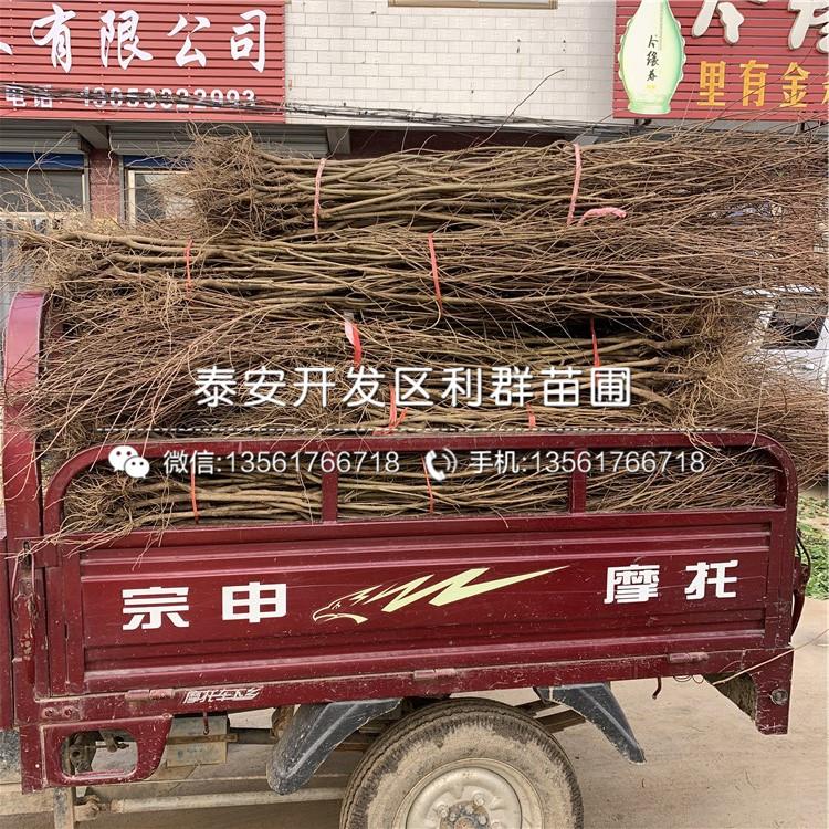 巨鹿串枝紅杏苗批發價格、巨鹿串枝紅杏苗批發基地
