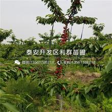 抉擇櫻桃樹苗、抉擇櫻桃樹苗價格圖片