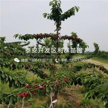 山東新品種櫻桃樹苗、山東新品種櫻桃樹苗報價及價格圖片