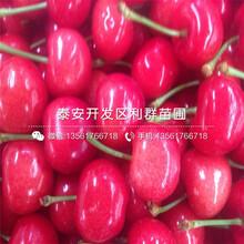 晚紅珠櫻桃苗、晚紅珠櫻桃苗批發圖片