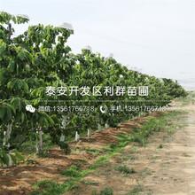 红蜜樱桃苗批发、红蜜樱桃苗价格图片