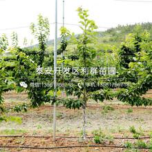 山東龍冠櫻桃樹苗、山東龍冠櫻桃樹苗多少錢一棵圖片