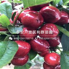 白玉櫻桃樹苗報價、2019年白玉櫻桃樹苗價格圖片