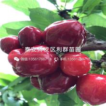 馬什哈德櫻桃樹苗、馬什哈德櫻桃樹苗報價及價格圖片