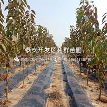 明珠櫻桃苗新品種圖片