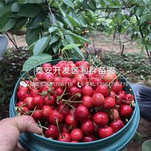 山東烏克蘭2號櫻桃樹苗、山東烏克蘭2號櫻桃樹苗出售圖片