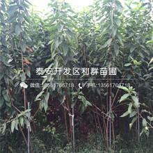龙冠3号樱桃苗价格图片