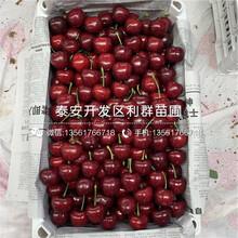早大果樱桃苗价格、2019年早大果樱桃苗价格图片