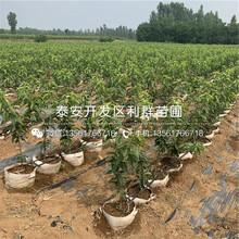 黑蘭特櫻桃樹苗價格、黑蘭特櫻桃樹苗基地圖片