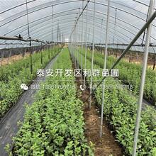 美国红樱桃苗出售、美国红樱桃苗价格图片