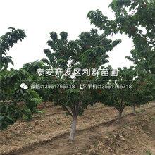 鸡心红樱桃树苗品种介绍、鸡心红樱桃树苗多少钱一棵图片