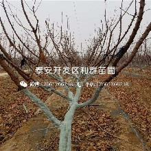 Y1砧木樱桃苗批发价格、2019年Y1砧木樱桃苗价格图片