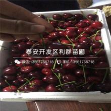 大將錦櫻桃苗價格圖片