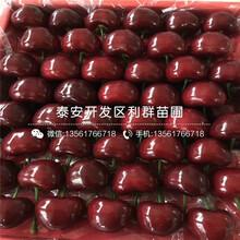 1公分櫻桃樹苗批發基地、1公分櫻桃樹苗多少錢一棵圖片