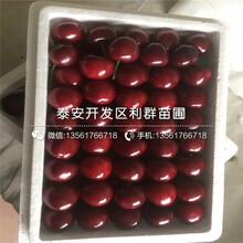 哪里有蘭丁2號櫻桃樹苗出售、今年蘭丁2號櫻桃樹苗價格是多少圖片