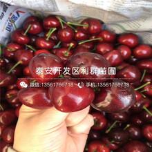 哪里有秦林櫻桃樹苗出售、秦林櫻桃樹苗多少錢一棵圖片
