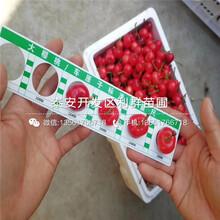 麗珠櫻桃樹苗圖片
