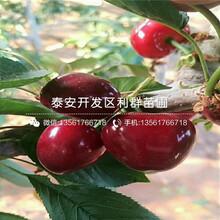 哪里有山东大樱桃树苗出售、今年山东大樱桃树苗价格是多少图片