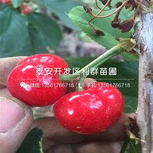 山東吉塞拉7號櫻桃苗、山東吉塞拉7號櫻桃苗批發圖片