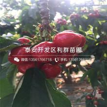 新品種美國大紅櫻桃苗、新品種美國大紅櫻桃苗價格圖片