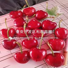山东美国樱桃苗、山东美国樱桃苗多少钱一棵图片