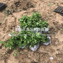 新品種櫻王櫻桃樹苗、新品種櫻王櫻桃樹苗價格圖片