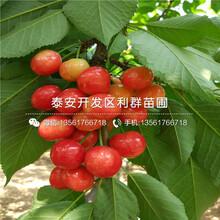 金頂紅櫻桃樹苗多少錢、金頂紅櫻桃樹苗多少錢一棵圖片