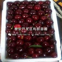 丽珠樱桃树苗、丽珠樱桃树苗报价及价格图片