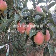 瑞阳苹果苗、瑞阳苹果苗出售价格图片