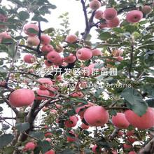 小国光苹果树苗出售、小国光苹果树苗价格图片