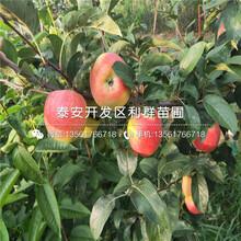 红元帅苹果树苗批发基地、红元帅苹果树苗价格及报价图片