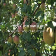山东红蜜脆苹果树苗、山东红蜜脆苹果树苗报价图片