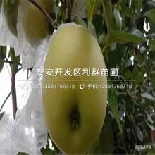 出售华硕苹果苗、华硕苹果苗多少钱一棵图片