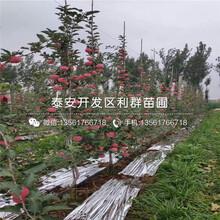 出售王林苹果树苗、王林苹果树苗多少钱一棵图片