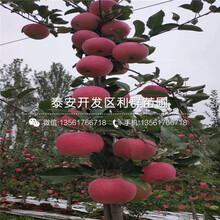 山东矮化苹果苗、山东矮化苹果苗多少钱一棵图片