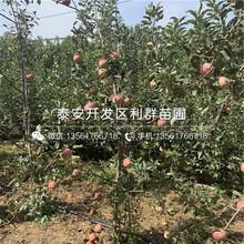 中秋王苹果树苗批发价格、2019年中秋王苹果树苗价格图片